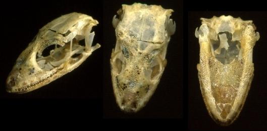 lizard skull multi view