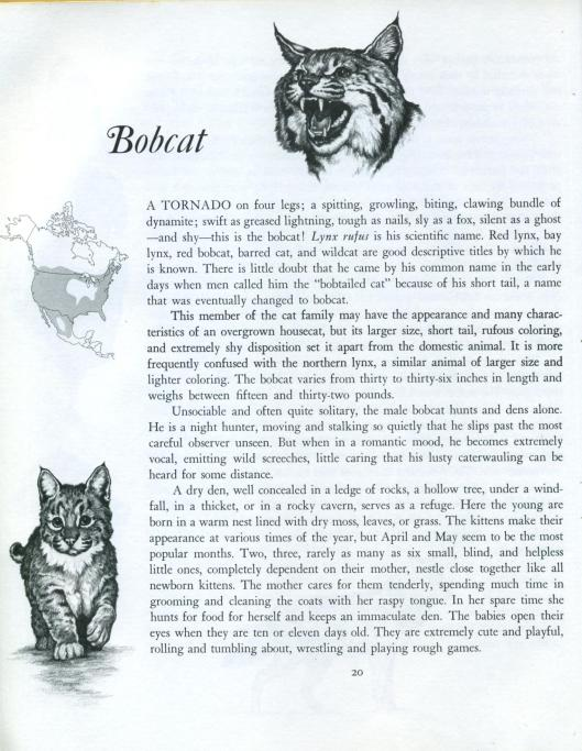 bobcat by bronson and dugdale -001
