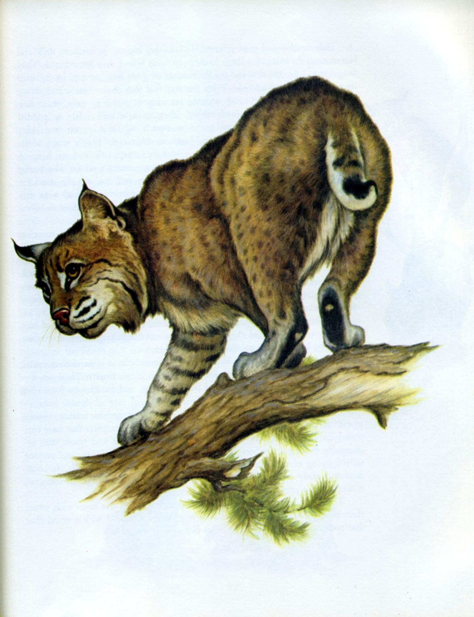 bobcat by bronson and dugdale -002