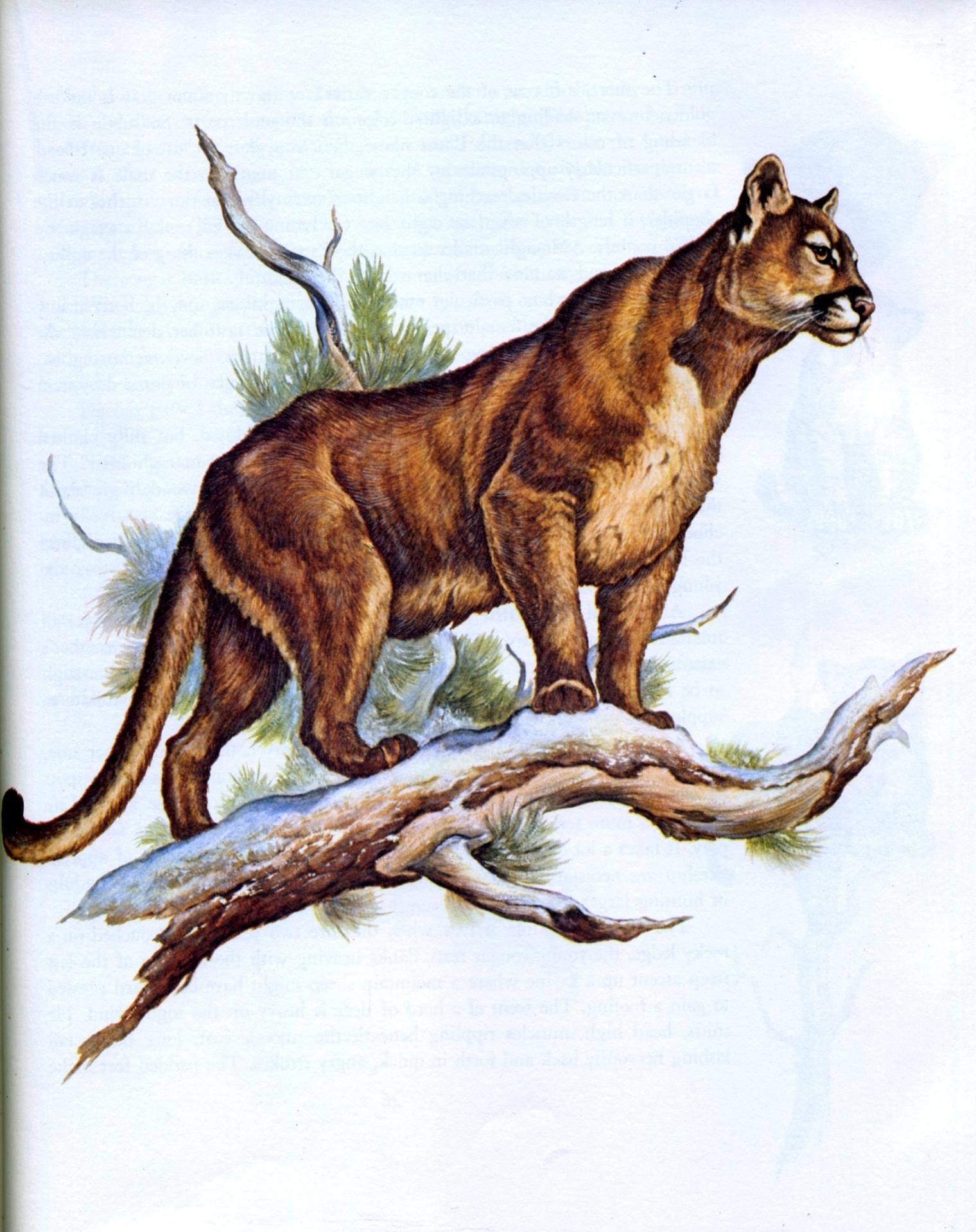 cougar rands