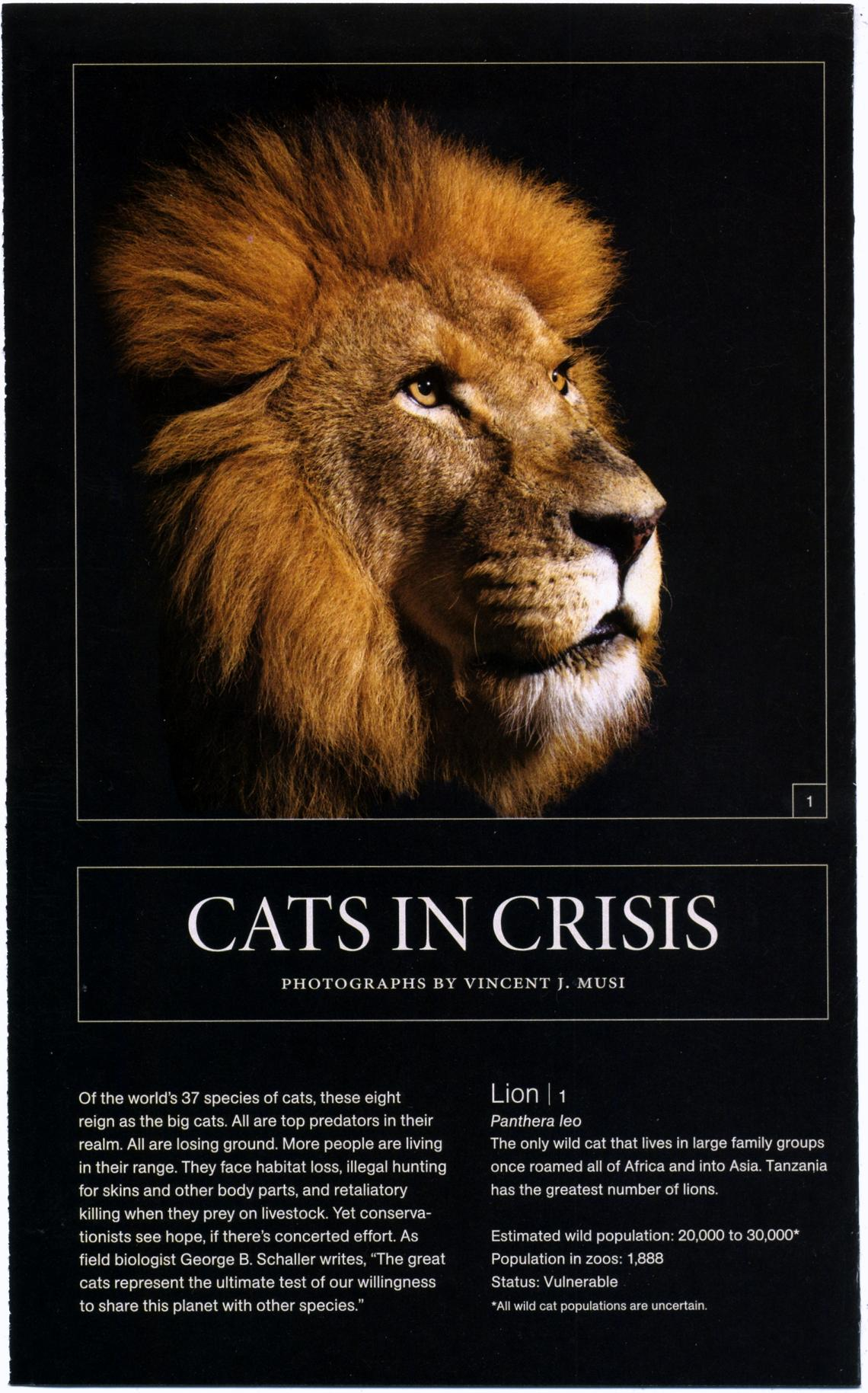 big cats national geographic cats in crisis poster- (2)