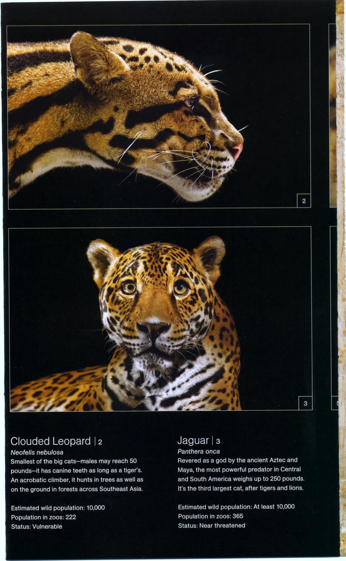 big cats national geographic cats in crisis poster- (3)