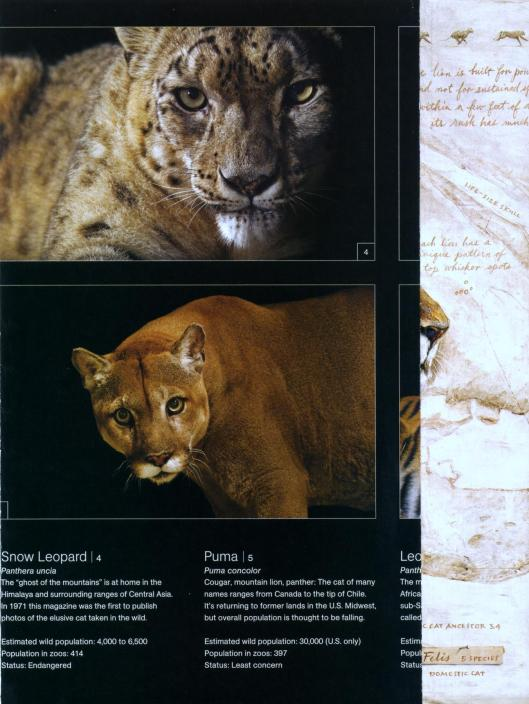 big cats national geographic cats in crisis poster- (4)