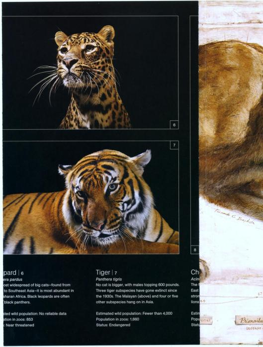 big cats national geographic cats in crisis poster- (5)