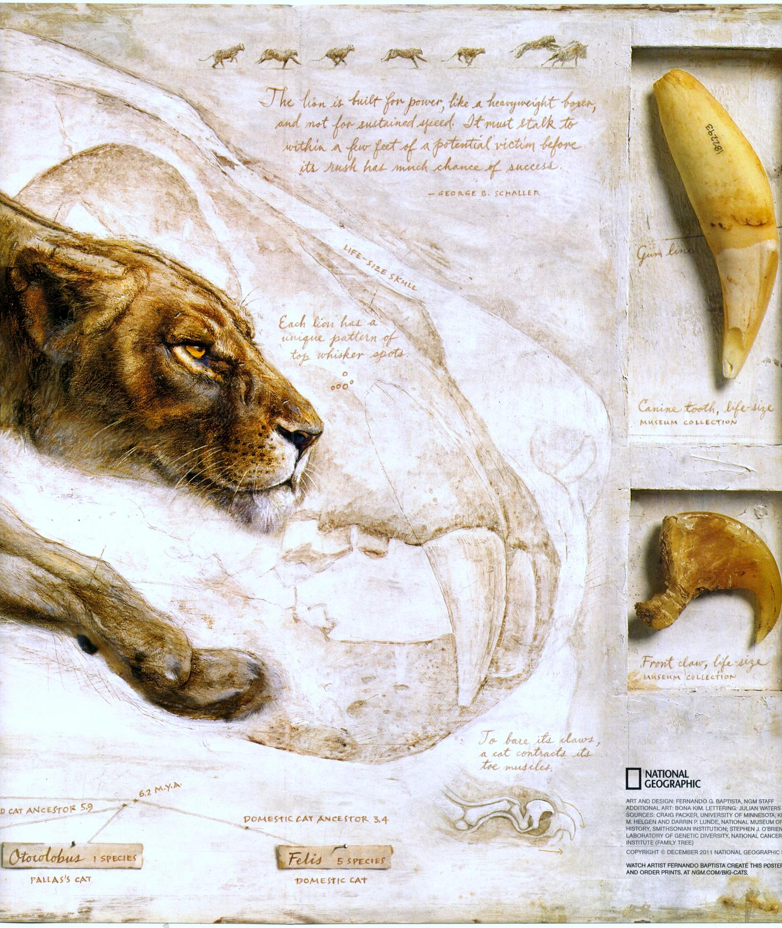 big cats national geographic cats in crisis poster- (7)