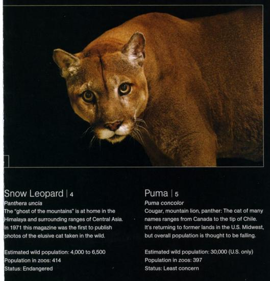 big cats national geographic cats in crisis poster- puma