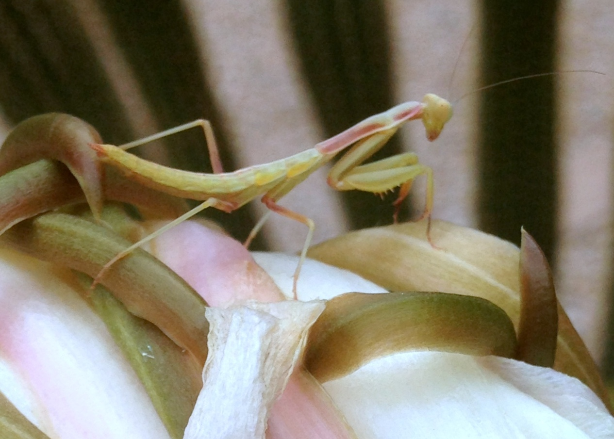 mantis and cactus flower 1 - zoomed