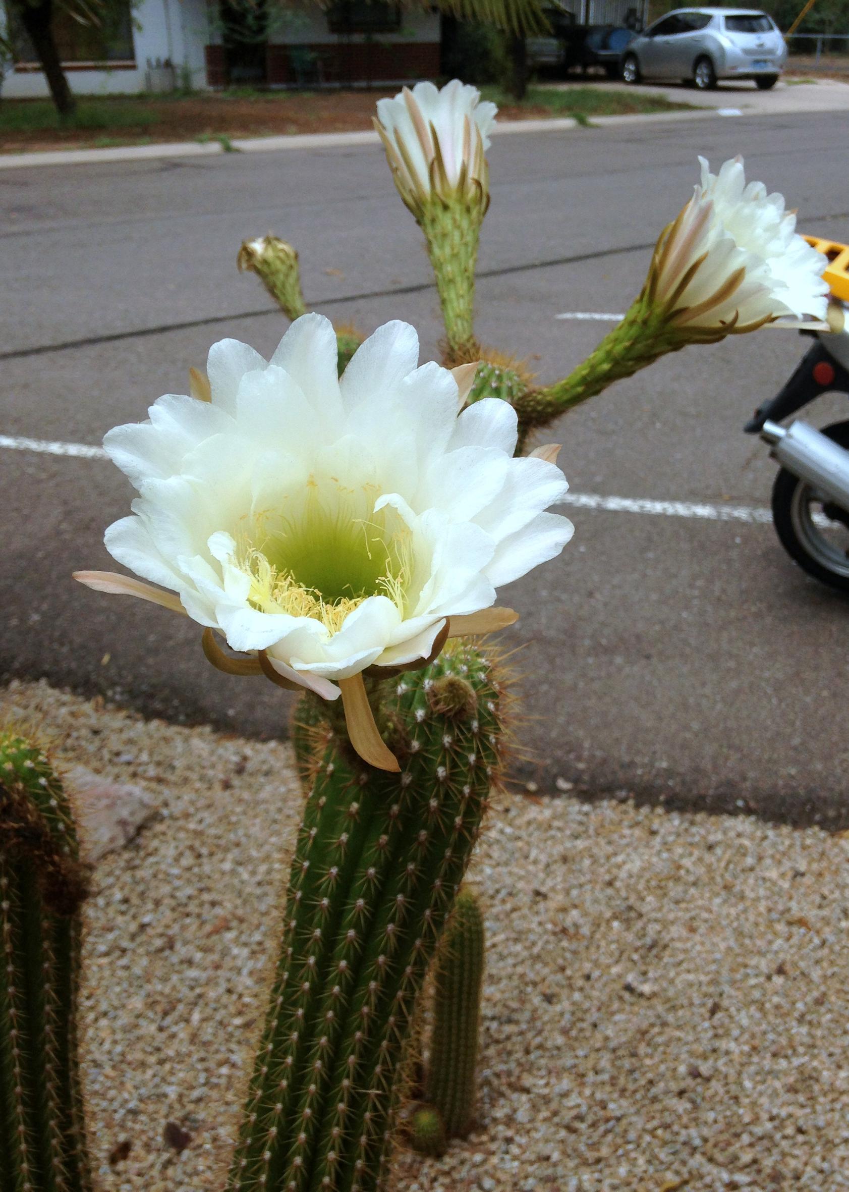 mantis and cactus flower 4