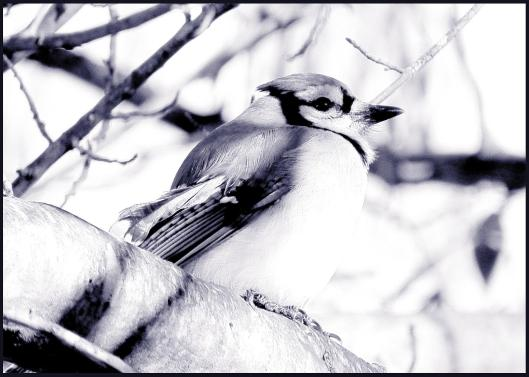 moms bluejay for prints - Copy