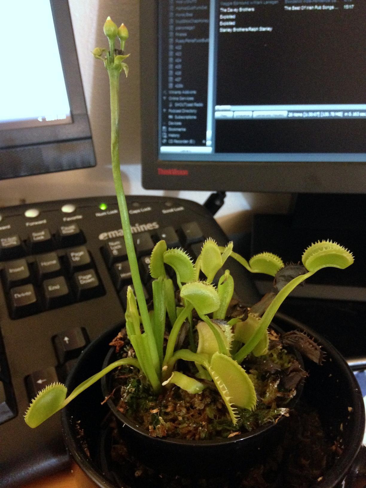 venus flytrap in a cup