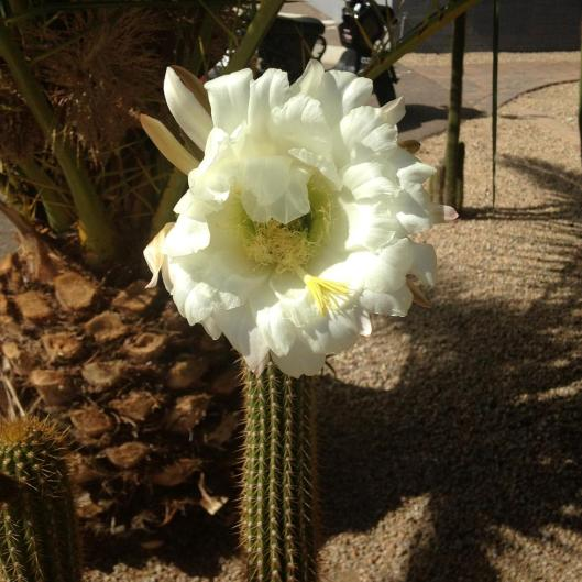 cactus flower - small copy