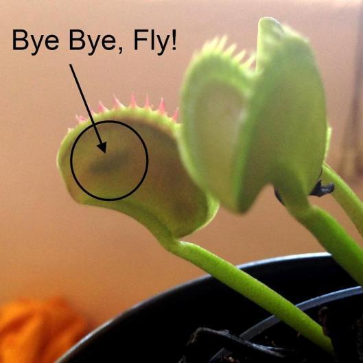 venus-flytrap-month-6-zoom