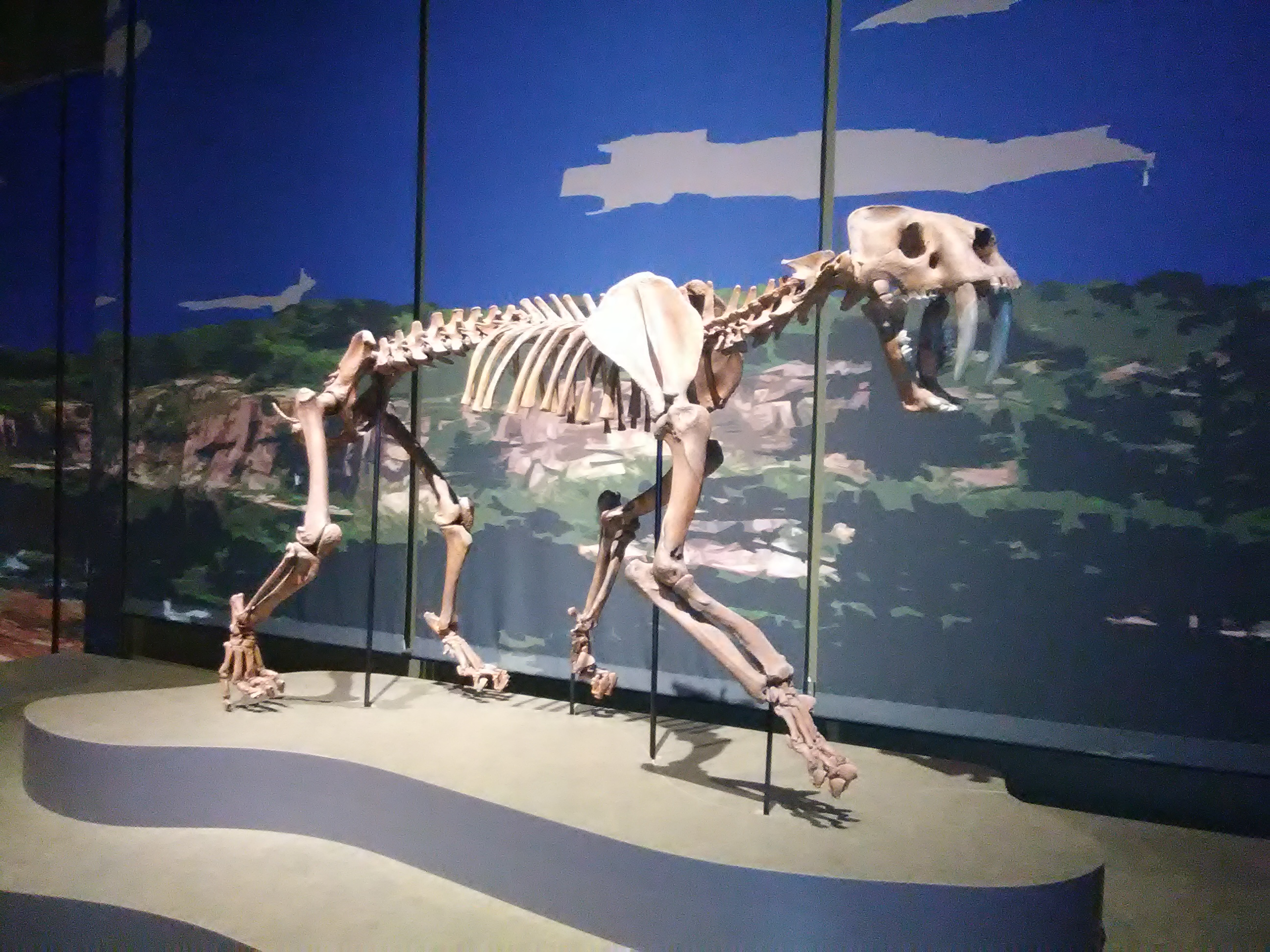 smilodon tellus science museum jul 2019.jpg